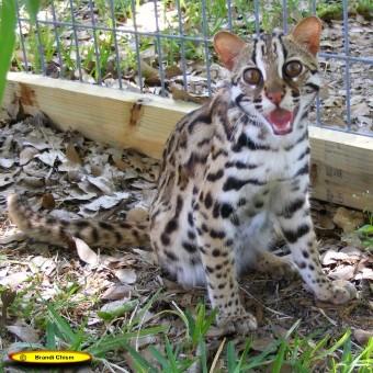 leopardenkatze kaufen gr ser im k bel berwintern. Black Bedroom Furniture Sets. Home Design Ideas